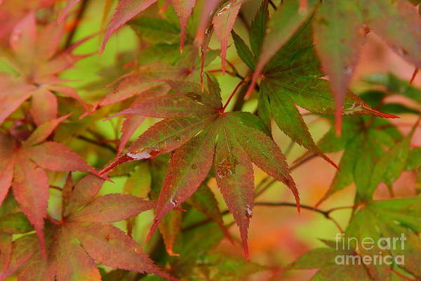 Photograph - After The Rain Japanese Maple Leaves by Reid Callaway