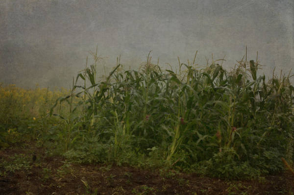 Cornfield Photograph - After The Wind by Susan Capuano