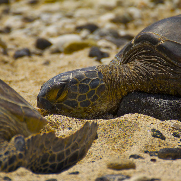Reptiles Wall Art - Photograph - Afternoon Nap by Brian Governale