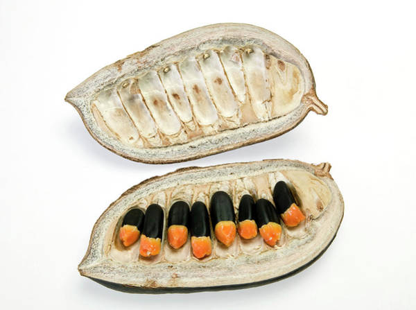Seed Pods Photograph - Afzelia Africana Seedpod by Natural History Museum, London/science Photo Library
