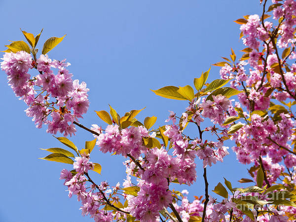 Photograph - Cherry Blossom Against The Blue Sky by Brenda Kean