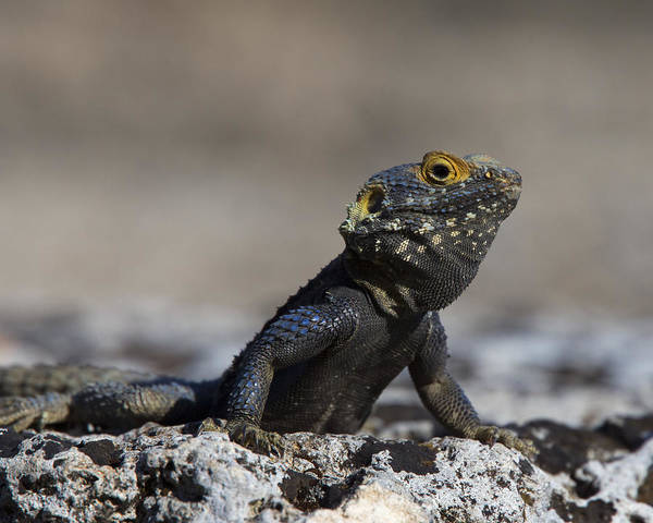 Photograph - Agama Basking On A Rock by Tony Mills
