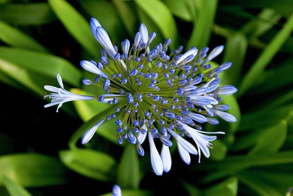 Agapanthus Photograph - Agapanthus (african Lily) by Mark Williamson