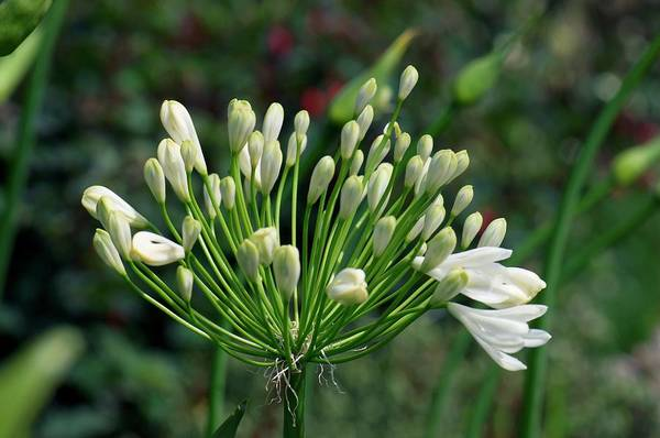 Agapanthus Photograph - Agapanthus Africanus 'albus' by Sam K Tran/science Photo Library