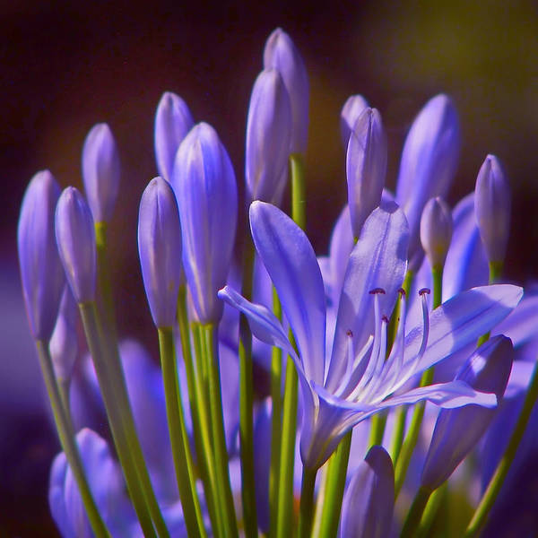 Agapanthus Photograph - Agapanthus - Lily Of The Nile - African Lily by Nikolyn McDonald