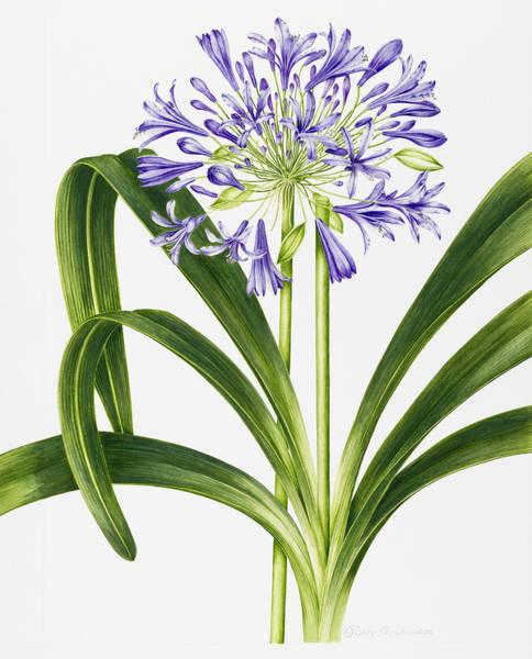 Botanical Painting - Agapanthus by Sally Crosthwaite