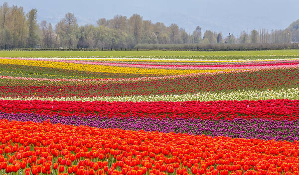 Photograph - Agassiz Tulips  by Pierre Leclerc Photography