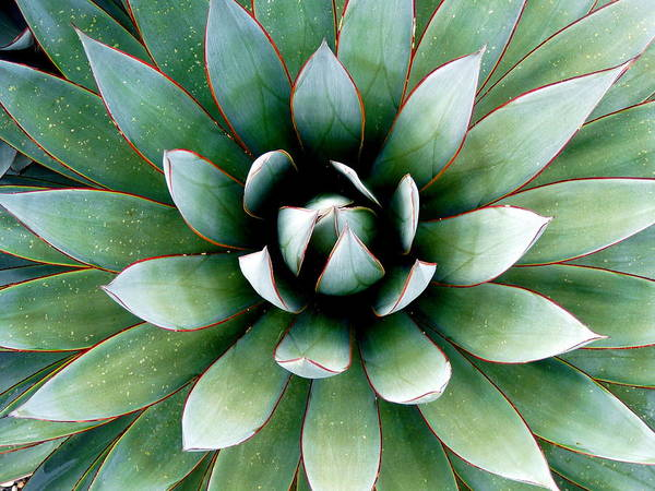 Photograph - Agave Attenuata by Jeff Lowe