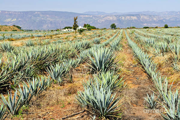 Spikes Photograph - Agave Cactus Field In Mexico by Elena Elisseeva