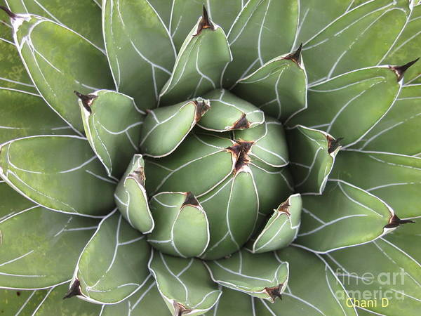 Photograph - Agave by Chani Demuijlder