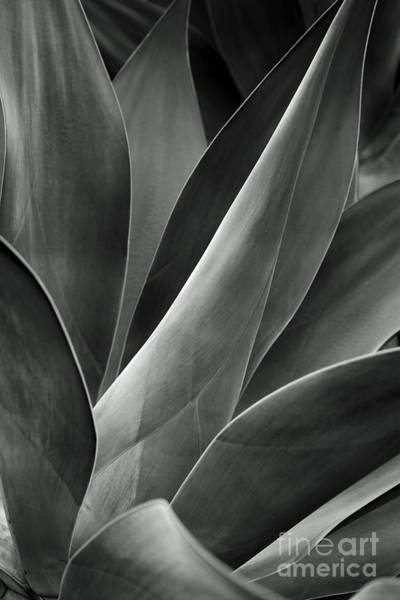 Photograph - Agave In Black And White by Charmian Vistaunet