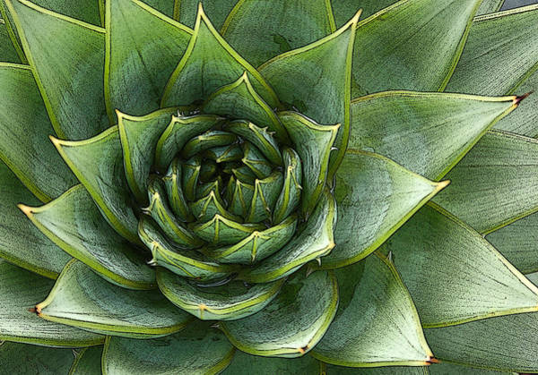 Photograph - Agave Whorl by Rob Huntley