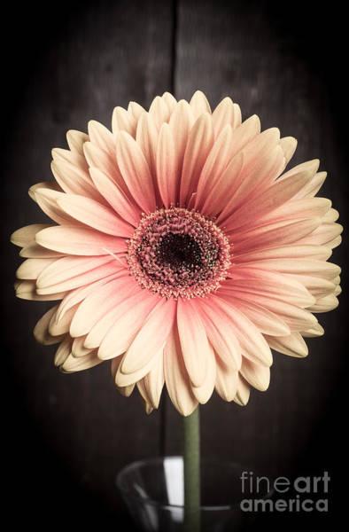 Carnation Photograph - Aster Flower by Edward Fielding