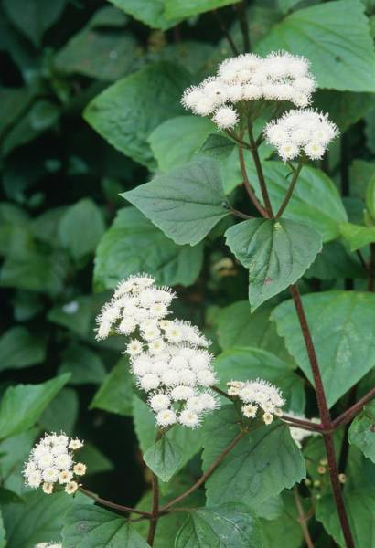 Staples Photograph - Ageratina Adenophora. by J M Downer/science Photo Library