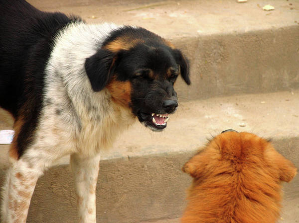 Growling Wall Art - Photograph - Aggressive Dogs by Bjorn Svensson/science Photo Library