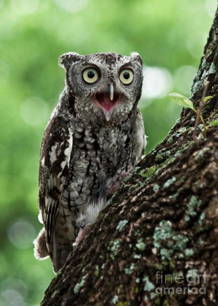 Screech Owl Photograph - Agitation by Lisa Porier