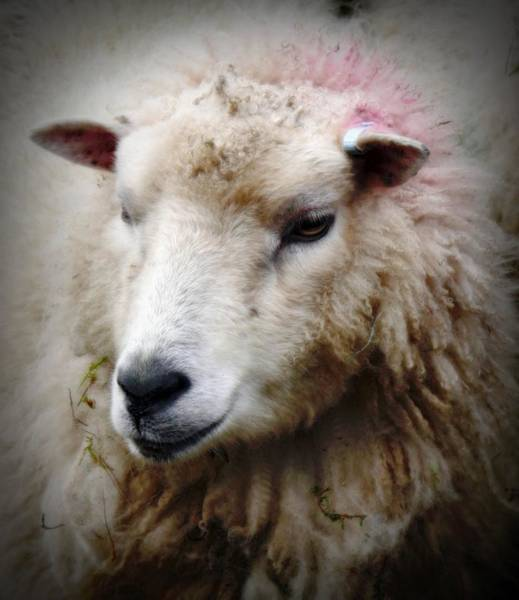 Agnah The Shetland Sheep Art Print