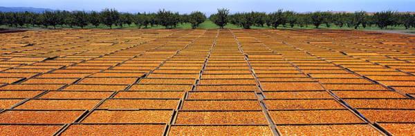 Expanse Photograph - Agriculture - Blenheim Apricots by Randy Vaughn-Dotta
