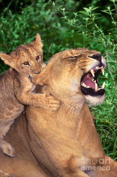 Photograph - Ah Being A Mother Is Wonderful African Lions Wildlife Rescue by Dave Welling