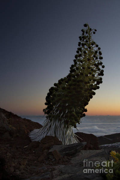 Photograph - Ahinahina - Silversword - Argyroxiphium Sandwicense - Summit Haleakala Maui Hawaii by Sharon Mau