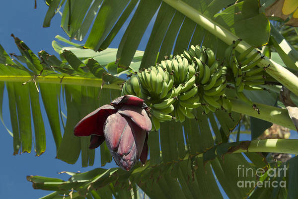 Photograph - 'ahui Mai'a O Wailea - Banana Flower by Sharon Mau
