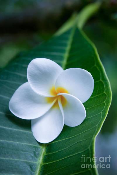 Photograph - Ahui Pua Melia O Waianapanapa - Tropical Plumeria by Sharon Mau