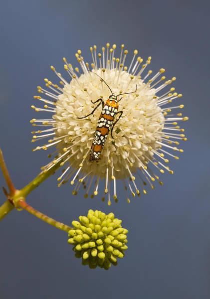 Photograph - Ailanthus Webworm Moth On Buttonbush by Steven Schwartzman