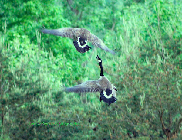Photograph - Air Fight by Lorna R Mills DBA  Lorna Rogers Photography