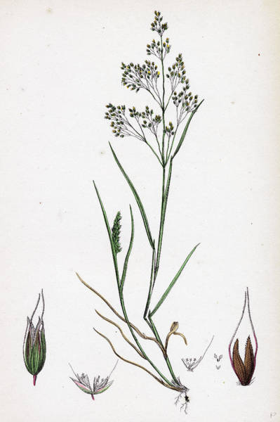 Aira Wall Art - Drawing - Aira Caryophyllea Silvery Hair-grass by English School