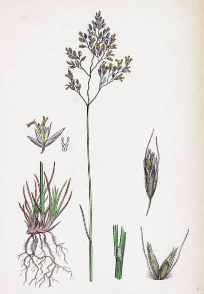 Aira Wall Art - Drawing - Aira Eu-fluxuosa Heath Hair-grass by English School