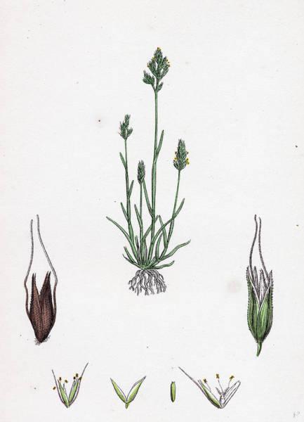 Aira Wall Art - Drawing - Aira Praecox Early Hair-grass by English School