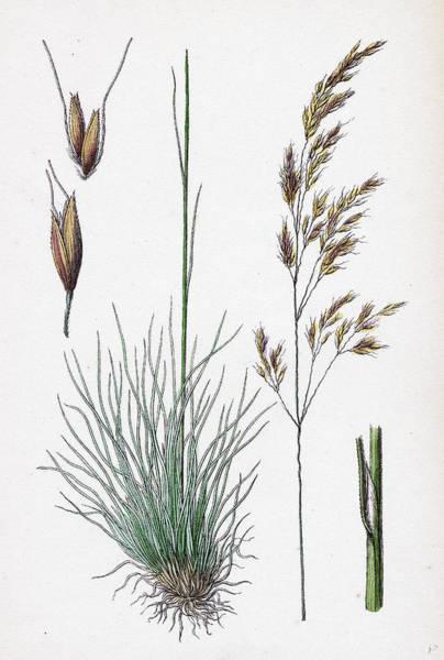 Aira Wall Art - Drawing - Aira Uliginosa Bog Hair-grass by English School