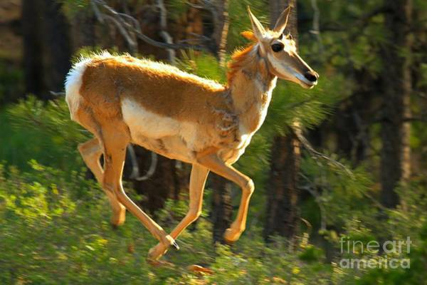 Photograph - Airborn Pronghorn by Adam Jewell