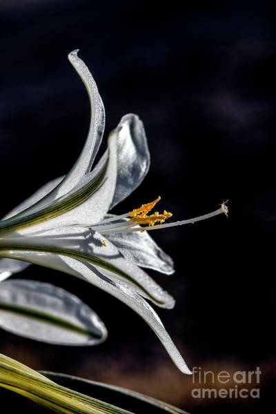 Sensational Photograph - Ajo Lily Close Up by Robert Bales
