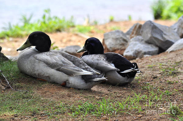 Wall Art - Photograph - Alabama Ducks Taking A Rest by Verana Stark