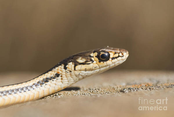 Photograph - Alameda Whipsnake by Dan Suzio