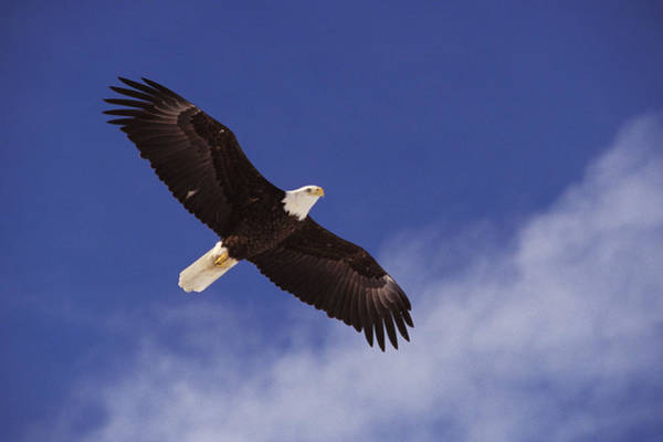 Flying Eagle Photograph - Alaska. Bald Eagle Flying by Anonymous
