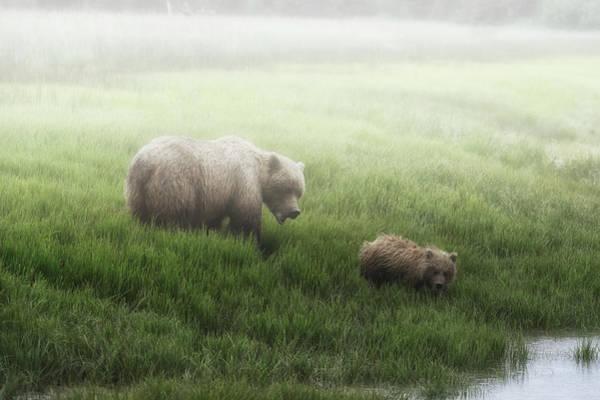 Wall Art - Photograph - Alaska Peninsula Brown Bear  Ursus by Marg Wood