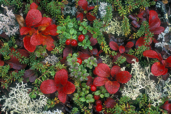 Photograph - Alaskan Berries 1 by Arterra Picture Library