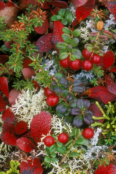 Photograph - Alaskan Berries 2 by Arterra Picture Library
