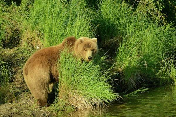 Grizzly Bears Photograph - Alaskan Brown Bear by Sandy L. Kirkner