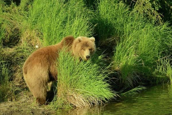 Grizzly Bear Photograph - Alaskan Brown Bear by Sandy L. Kirkner
