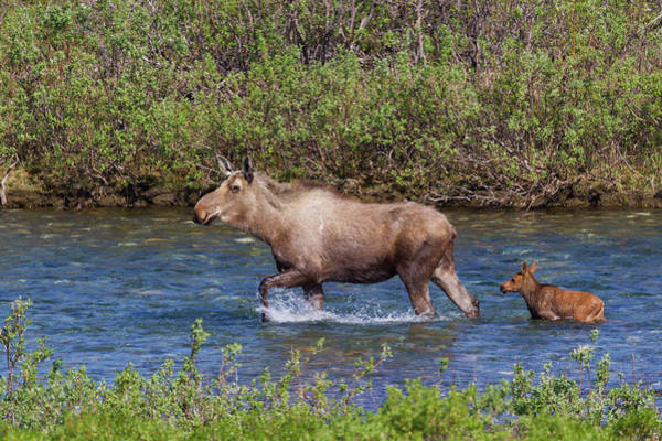 Alces Alces Photograph - Alaskan Cow Moose With Young Calf by Ken Archer