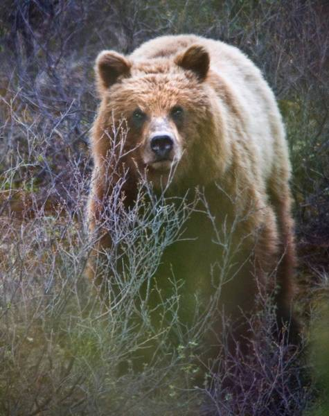 Grizzly Bears Digital Art - Alaskan Grizzly Bear by National Park Service