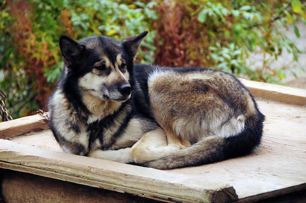 Canine Photograph - Alaskan Husky, Denali National Park by Michel Hersen