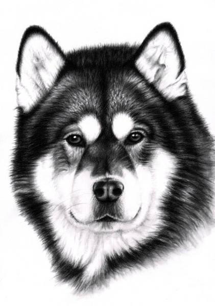Hund Drawing - Alaskan Malamute Portrait by Nicole Zeug