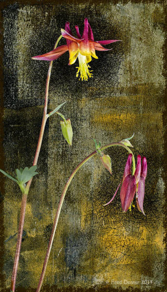 Photograph - Alaskan Wild Columbine  by Fred Denner