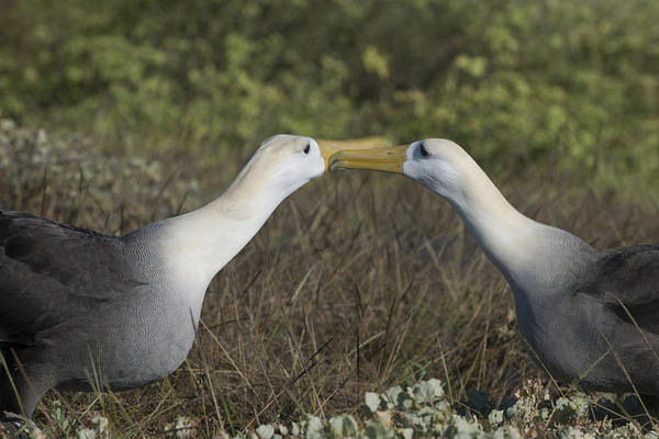 Wall Art - Photograph - Albatross Perform Courtship Ritual by Richard Berry