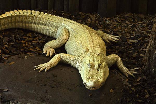 Photograph - Albino Alligator by Bill Barber
