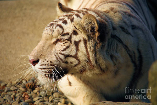 Photograph - Albino At Rest by Adam Jewell